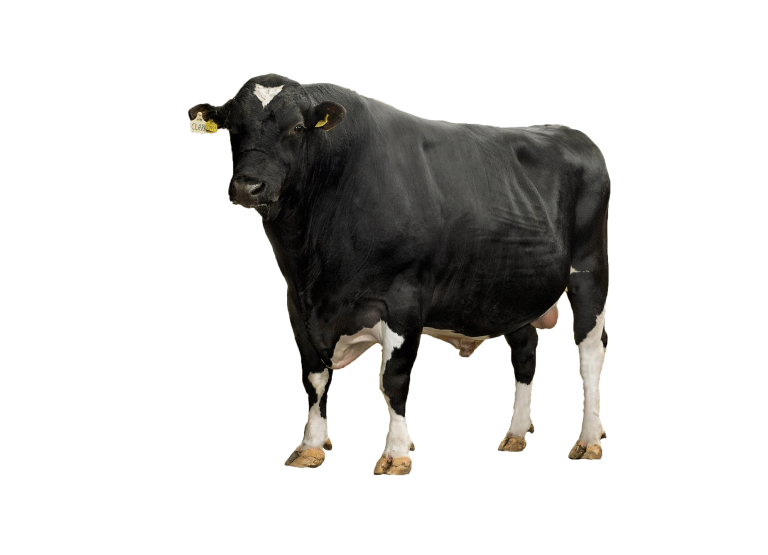 Viking Holstein cow
