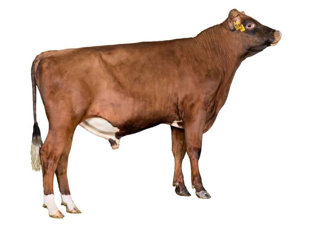 Viking Red cow